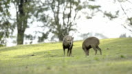Wild hog deer in the forest