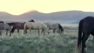 Wild horse herd walking through field as the sun is about to rise