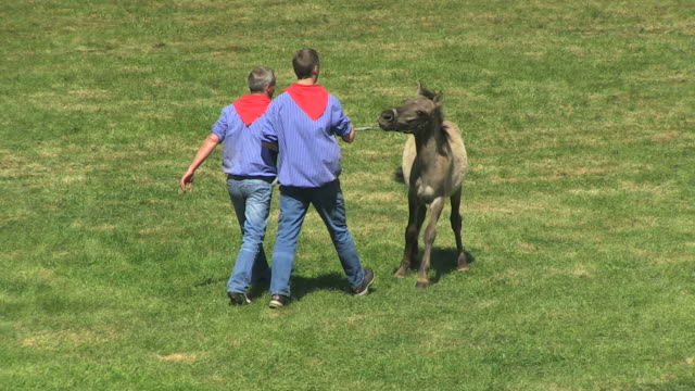MS TS Wild horse race at Meerfelder Bruch and baby horse being caught by men / Dulmen, North Rhine Westphalia, Germany