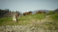 Wild Horses grazing in a field