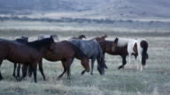 Wild horses grazing in slow motion at dawn
