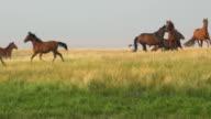 Wild horses range freely across grasslands