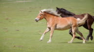 Wild horses running panning video
