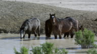 Wild horses standing in water hole getting a drink