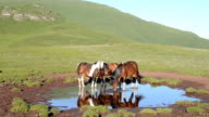 Wild horses (HD)