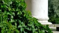 Wild ivy.