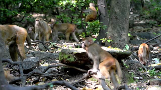 Wild macaque population