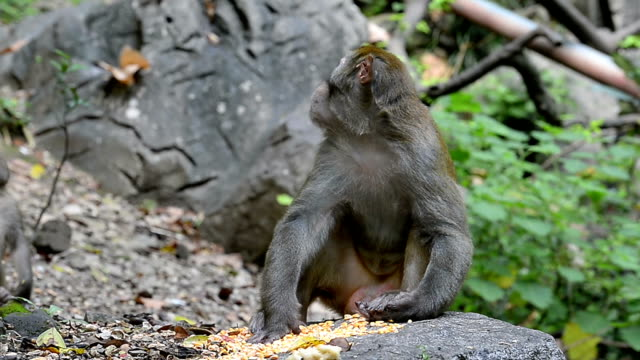 Wild macaques of daily life-eatting food Monkey King