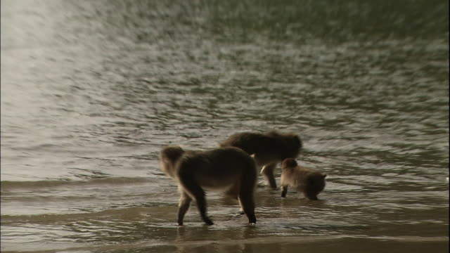 Wild monkeys playing with water on the beach.