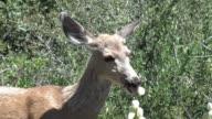 Wild mule deer eats yucca cactus blossoms Deer-Creek Canyon Park Colorado