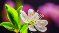 Wild plum Flower blooming against black background in a time lapse movie. Prunus cerasifera growing in moving time lapse.