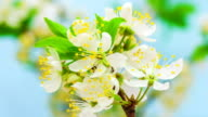 Wild plum Flower blooming against blue background in a time lapse movie. Prunus cerasifera growing in moving time lapse.