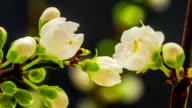 Wild plum flower blooming