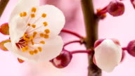 Wild plum flower
