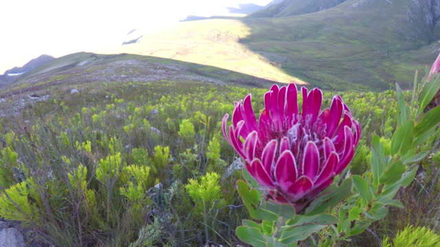 Wild Protea Flower in the wild