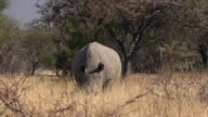 Wild rhinoceros eating in the African bush