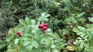 Wild rose hips in rural south west Scotland