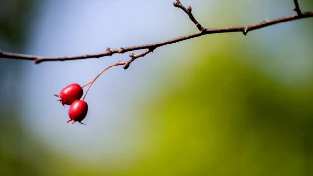 Wild rosehip tree