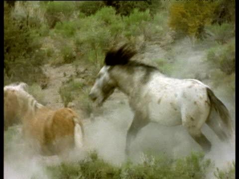 Wild stallions fight, kick and chase on grassland, Montana