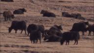 Wild yaks graze on arid plateau, Qinghai Province, China