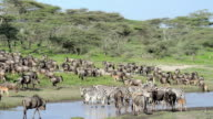 Wildebeest and Zebra Migrating