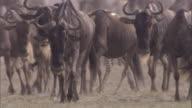 Wildebeest and zebra walk across savanna. Available in HD.