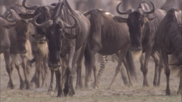 Wildebeest and zebra walk across savanna. Available in HD.