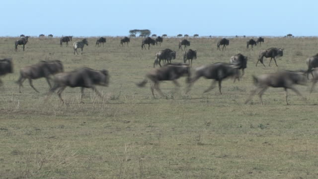 Wildebeest and Zebras Running