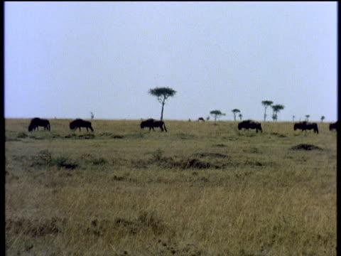 Wildebeest crossing Savannah