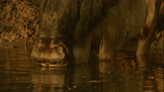 A wildebeest drinks from a watering hole. Available in HD.