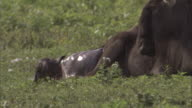 A wildebeest gives birth on the savanna in the Serengeti National Park. Available in HD.