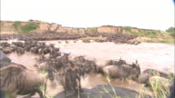 A wildebeest herd crosses the Mara River.