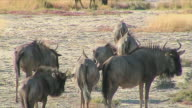 WS Wildebeest herd / Etosha National Park, Namibia