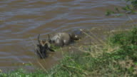 SLOMO WS Wildebeest in river with Nile crocodile gripping its back leg