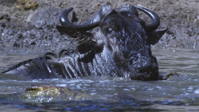 SLOMO CU Wildebeest looking back at Nile crocodile with scared eyes