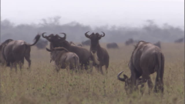 Wildebeest males prance through herd, face each other then back off without fighting Available in HD.