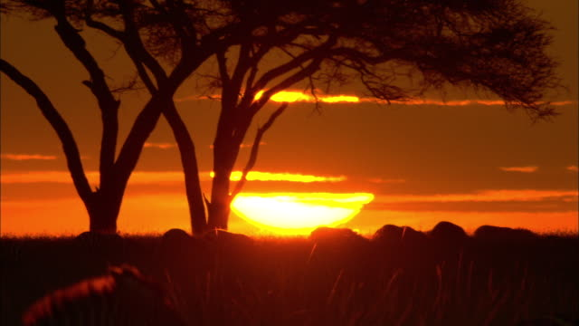 Wildebeest migrate over savannah in the Serengeti at sunset.
