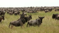 Gnu migration in Serengeti national park