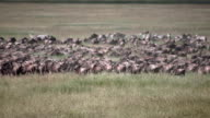 Wildebeest migration in Serengeti national park