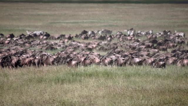 Gnu migration in Serengeti national park