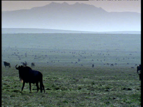 Wildebeest paces and turns in front of herd on hazy savanna