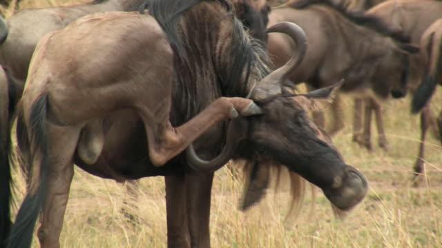 CU, Wildebeest (Connochaetes taurinus) scratching head with hind foot, Masai Mara, Kenya