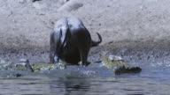 SLOMO MS Wildebeest struggles to escape as Nile crocodiles attack and it sits in river shallows