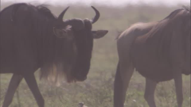 Wildebeest walks across savanna. Available in HD.