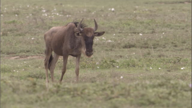 A wildebeest walks across the savannah in the Serengeti National Park. Available in HD.