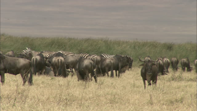 Wildebeests and zebras graze side by side on a savanna.