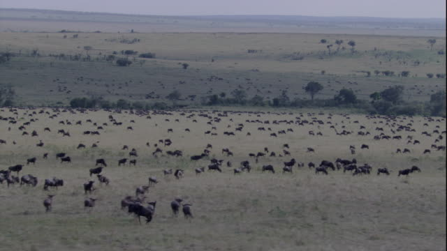 Wildebeests roam the plains of Masai Mara. Available in HD.