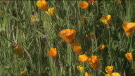 KTLA Wildflower 'Super Bloom' In Anaheim Hills