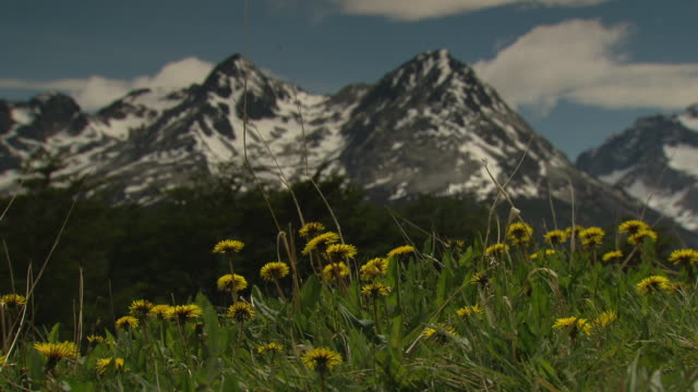 Wildflowers grow in a field near snowy mountain peaks.