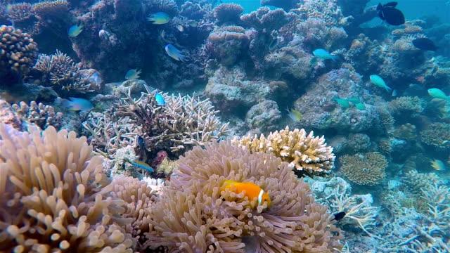 Wildlife clown fish in a anemone on maldives